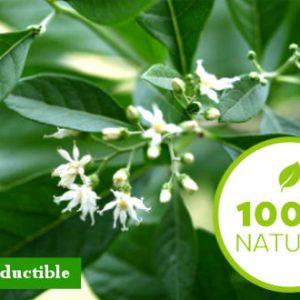 Semence-Vernonia-PREMIUM HORTUS