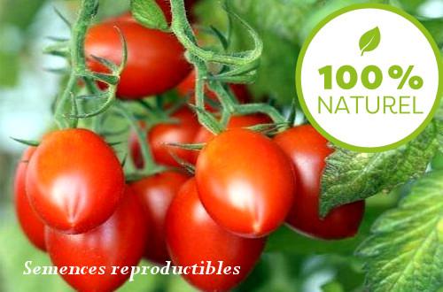 Semence Tomate Roma