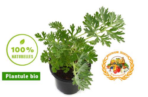 Plantule Artemisia Anua bio - BENIN - PREMIUM HORTUS